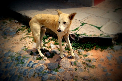 white dog wandering the streets of pozos