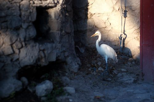 Many egrets have recently been displaced and died recently, here in San Miguel de Allende.